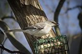 picture of mockingbird  - A Northern Mockingbird with his beak open and tongue visible - JPG