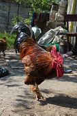 stock photo of fighting-rooster  - cock very angry and aggressively tuned to people who are around him - JPG