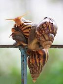 picture of mollusca  - garden snail or animal in the evergreen forest is damp - JPG