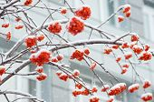foto of mountain-ash  - A snow-covered branch of a mountain ash on a background of city house