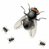 Housefly. Detailed vector illustration.