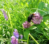 stock photo of creeping  - Big bumblebee creeps from one flower to another in high grass