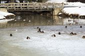 picture of duck pond  - Ducks in Frozen Pond in winter time - JPG