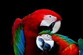 stock photo of harlequin  - Beautiful parrot bird Greenwinged Macaw and Harlequin Macaw in portrait profile - JPG