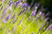 stock photo of lavender plant  - Green field of fresh lavender  - JPG