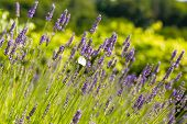 picture of lavender plant  - Green field of fresh lavender  - JPG