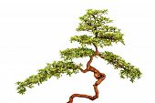 image of bonsai tree  - Green bonsai tree or asian ornamental or decorative plant on white background - JPG