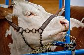 pic of cattle breeding  - Simmental bull portrait in barn animal farm - JPG