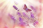 stock photo of lavender plant  - Butterfly and lavender lit by sun rays  - JPG