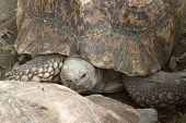 stock photo of tortoise  - Portrait of a Leopard Tortoise - JPG