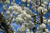 picture of cherry  - Branches of a cherry tree with white cherry flowers against blue sky - JPG
