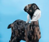 stock photo of nubian  - Black white and red Nubian lamb standing on blue background - JPG
