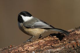 stock photo of chickadee  - Carolina Chickadee (Poecile carolinensis) on a branch in winter ** Note: Visible grain at 100%, best at smaller sizes - JPG