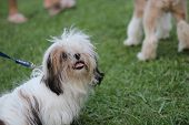 pic of dog breed shih-tzu  - funny dog in grass field public park Shih Tzu - JPG