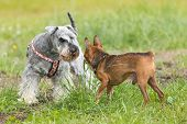 stock photo of dwarf  - Brown dwarf pinsche and Little Schnauzer are standing on the lawn with their heads together