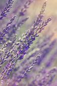 picture of lavender field  - Growing lavender flower In a field at sunset  - JPG