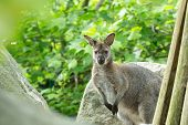 stock photo of wallabies  - Closeup of a Red - JPG
