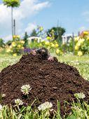 stock photo of mole  - Mole poking out of mole mound - JPG