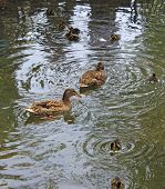 picture of duck pond  - Photo Family of ducks with young chicks swimming in a pond - JPG
