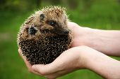 picture of crew cut  - Hands holding hedgehog outdoors - JPG