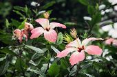 picture of hibiscus flower  - Pink hibiscus flowers - JPG