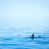 picture of fin  - Fin of a shark in the high sea - JPG