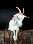 pic of baby goat  - goat in his enclosure - JPG