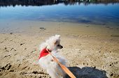 picture of pomeranian  - white pomeranian dog in red sweater on a leash looking away on the beach river - JPG