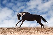 picture of galloping horse  - Dark brown horse galloping against blue sky - JPG