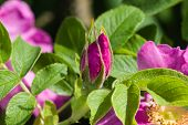 picture of rose bud  - bud of a blooming wild rose macro shallow DOF selective focus - JPG