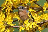 stock photo of bluebird  - Female Eastern Bluebird  - JPG