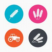 picture of corn stalk  - Circle buttons - JPG