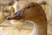 picture of taxidermy  - Bean goose portrait taxidermy animals birds objects - JPG