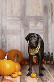 foto of gourds  - Beautiful Black Labrador Retriever next to pumpkins - JPG