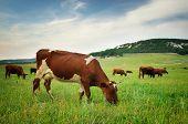 foto of cow head  - Cow in meadow - JPG