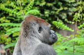 stock photo of gorilla  - Picture of a Strong Adult Black Gorilla  - JPG