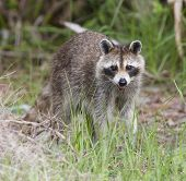 picture of rabies  - Raccoon - JPG
