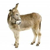 stock photo of headstrong  - donkey in front of a white background - JPG