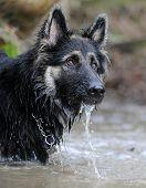 German Shepherd gsd in water poster