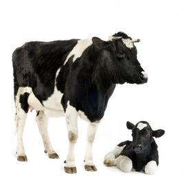picture of baby animal  - Calf and his mother in front of a white background - JPG
