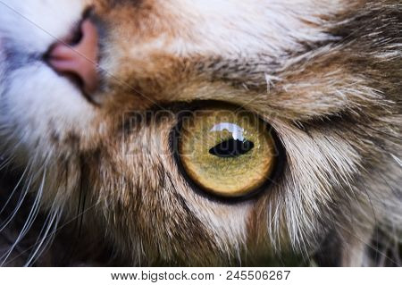poster of Young Surprised Cat Make Big Eyes Closeup. American Shorthair Surprised Cat Or Kitten Funny Face Big