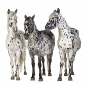 pic of appaloosa  - Appaloosa horse in front of a white background - JPG