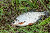 Close Up View Of The Signle White Bream Or Silver Fish On The Natural Background. . poster