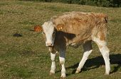 foto of hereford  - Young brown and white Hereford calf in a field - JPG