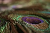 Peacock Feather. Vivid Colors And Velvety Feel poster