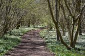 Springtime With A Beautiful Footpath Surrounded With Wood Anemones poster