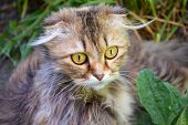 Young Surprised Cat Make Big Eyes Closeup. American Shorthair Surprised Cat Or Kitten Funny Face Big poster