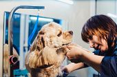 Female Groomer Haircut Cocker Spaniel On The Table For Grooming In The Beauty Salon For Dogs. Groomi poster