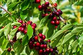 Cherries On A Branch Of A Fruit Tree In The Sunny Garden. Bunch Of Fresh Cherry On Branch In Summer  poster