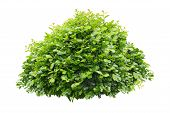 Green Bush Isolated On White Background .green Leaves poster